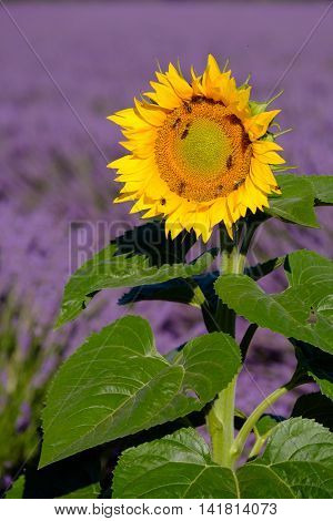 Bees pollinate sunflowers in a lavender field in Provence, France