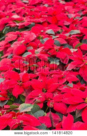 Christmas Flowers, Poinsettias with green and red leaves.