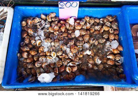 Fresh of Spotted Babylon in Thailand market