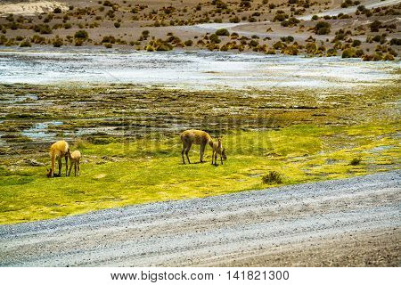 Alpaca grazing in the field at Colorada Laguna Bolivia