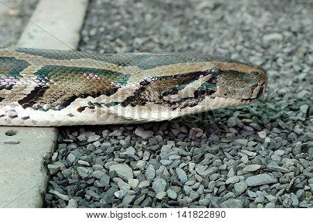 Detail of the head of python (Python molurus)