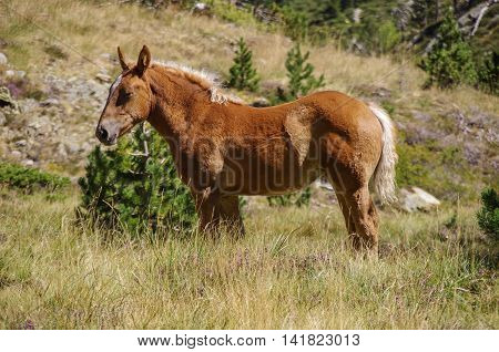 Bay Horse Grazes On Meadow In Mountain Valley In Pyrenees Near Coma Pedrosa Peak. Andorra