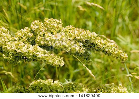 Closeup detail of Rumex Crispus Flower under the warm summer sun poster