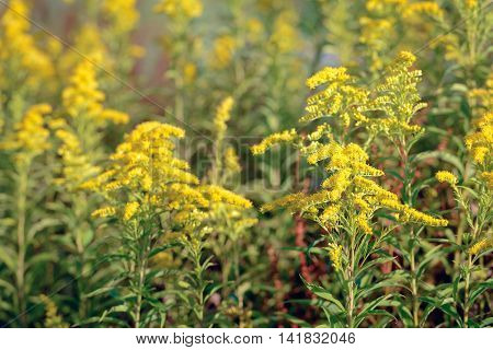 Closeup of yellow blooming Goldenrod or Solidago plants in a Dutch nature reserve. It is early in the morning on a sunny day in the summer season.
