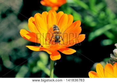 Bee close up on orange flower collecting pollen to make honey.