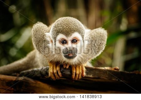 Sitting Squirrel monkey in Ecuadorian jungle, Ecuador