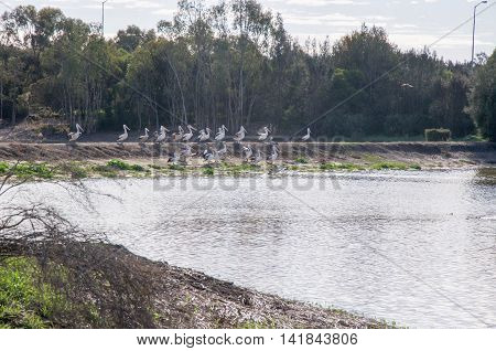 Wetland lake with flock of nesting pelicans under a cloudy sky in Mundijong, Western Australia.