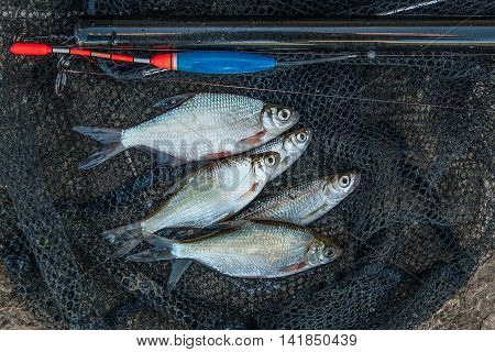 Several Bleak And Bream Fish On Fishing Net. Fishing Rod With Float And Fishing Net As Background.