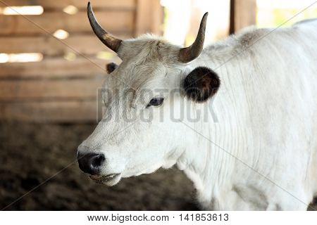 Farm cow on a blurred background