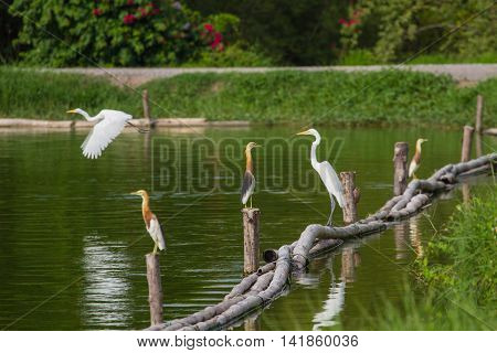 Chinese Pond Heron And Great Egret