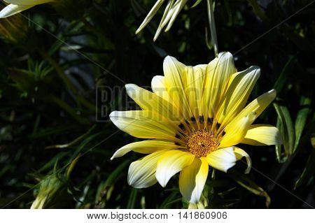 Yellow gazania flower on the garden beds