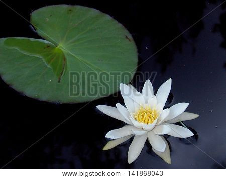 Water white lily Nymphaea (lat. Nymphaea alba)