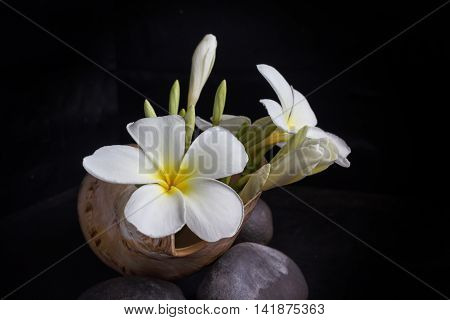 Flower Frangipani Or Plumeria In Sea Conch Shell On Pebble In Dark