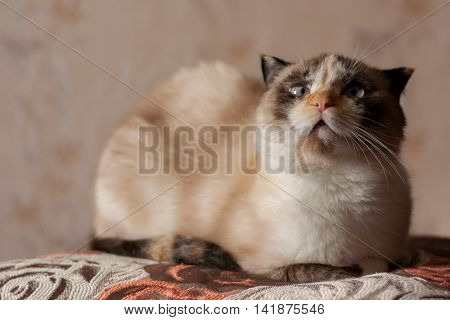 cat breed of lop-eared close up with unfriendly muzzle
