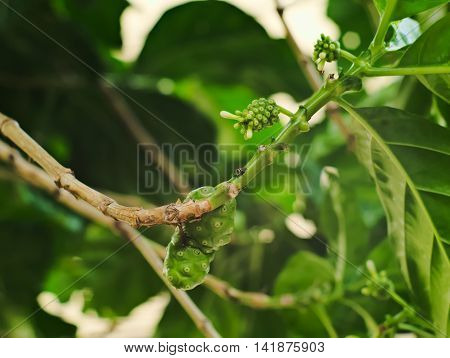 Great morinda Tahitian noni Indian mulberry or Beach mulberry