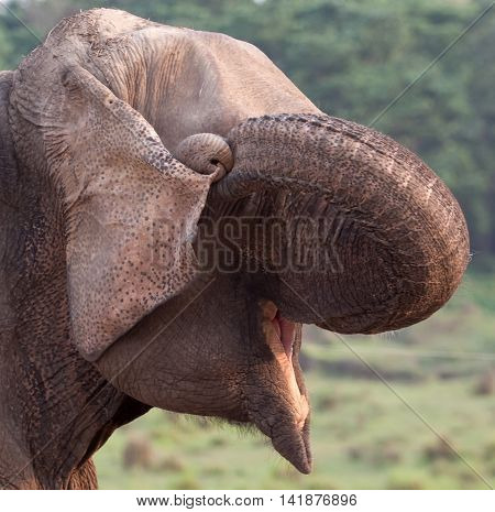Happy elephant seems to laugh with his nose curled.