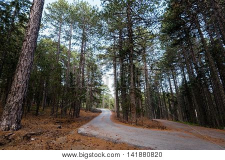 Minor asphalt empty curved road passing through a beautiful forest with tall Pine trees at Troodos mountain in Cyprus