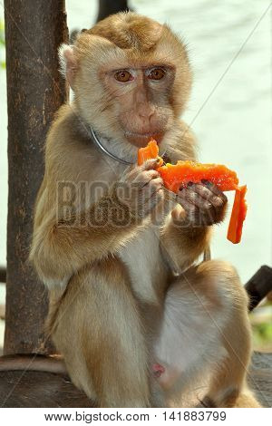 Kanchanaburi Thailand - December 25 2010: Monkey eating a piece of Papaya at the Kanchanaburi Monkey School