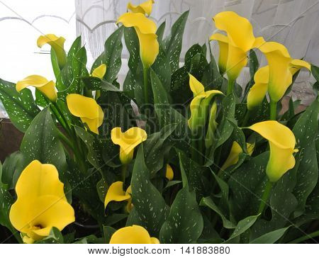 Flowers yellow calla lilies with variegated foliage