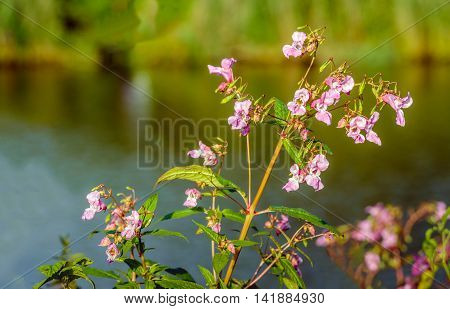 Closeup of a budding and pink blossoming Himalayan Balsam or Impatiens glandulifera plant on the waterfront of a creek in a Dutch nature reserve in the summer season.