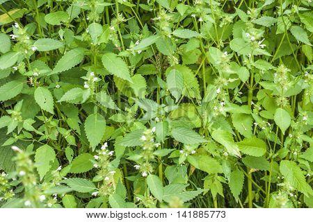 Wild Spearmint Herb Field