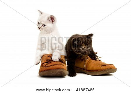 Portrait of two British Shorthair Kittens sitting in men's shoes, 8 weeks old, color point and black tortie color.