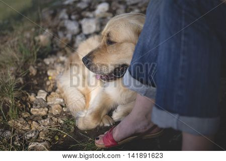 Dog Man's Best Friend, Golden Retriever A Rest At The Side Of A Man While Walking