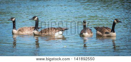 Four Canada Geese swim like a gang in the Ottawa River.   Springtime waterfowl near Billings Bridge.