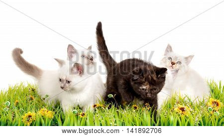 Portrait of four British Shorthair Kittens sitting in the grass, 8 weeks old, color point and black tortie color.