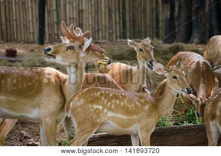 many brow antlered deer live in farm