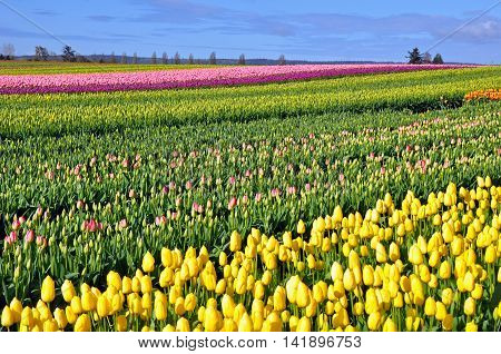 Colorful rows of spring tulips in the fields and blue sky in background