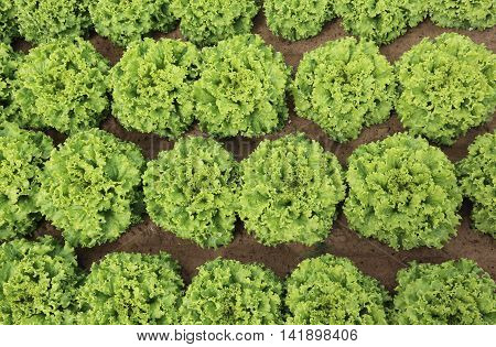 Background Of Lush Green Leaves Of Lettuce In The Field
