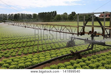 automatic irrigation system of a cultivated field of green lettuce in po valley in Italy poster