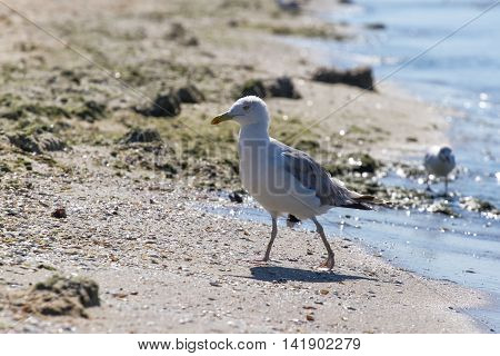 CA on beach Ukraine steppe. Larus photo with eyes