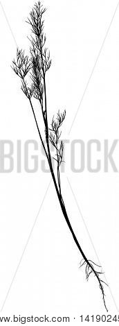 illustration with dill isolated on white background