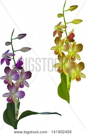 illustration with dark purple and yellow orchids isolated on white background