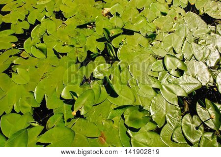 Blossoming Water-lily. Yellow Water lily on river.