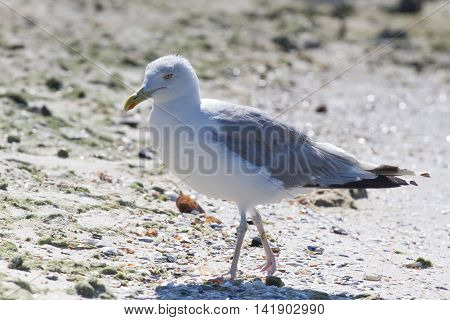 Ca On Beach, Ukraine, Steppe. Larus Macro Photo With Eyes.