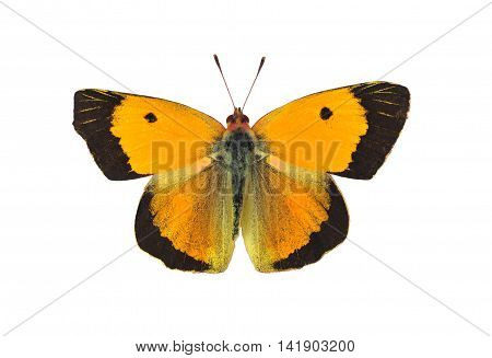 Dark clouded yellow butterfly - male on white background