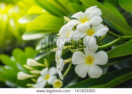 Beautiful white flower with leaves in garden