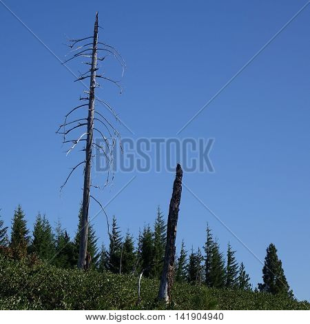 Two burned out trees tower above new growth returning from a massive forest fire that took place 15 years ago in Oregon.