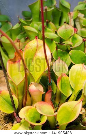 Heliamphora minor from the family Heliamphora a beutiful plant who catch insects