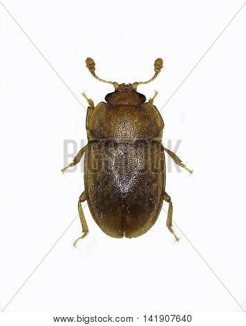 Sap Beetle Epuraea on white Background  -  Epuraea sp.