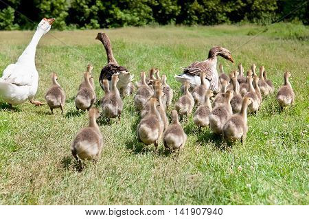 White goose and two mallard ducks with clutch of ducklings background.