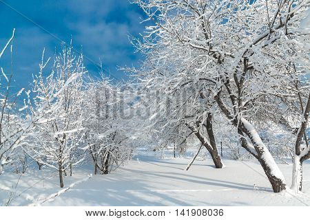 Trees covered with snow at january morning