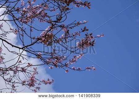 Beautiful delicate pink cherry blossom against blue sky background