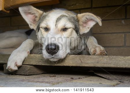 Big young dog sleeping in its secluded corner