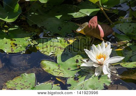 A water lily and lily pads on a sunny day