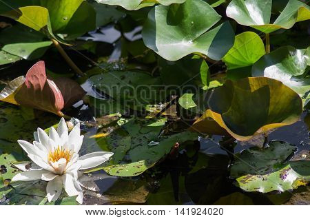 A water lily and lily pads in a pond on a sunny day