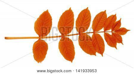 Autumnal Sorbus Leaves